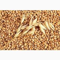 Семена озимой пшеницы Перемога (остистая, элита)