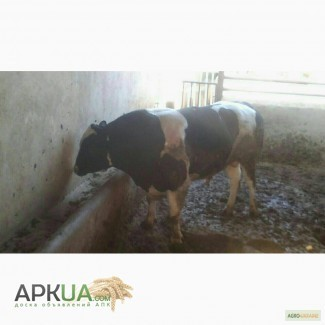 Куплю. ВРХ (бики, корови, коні) у населення і господарств