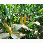 Продам снасіння кукурудзи