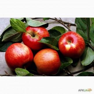 Продам яблука Гала Галаксі, Хані Крісп, Джонаголді з власного саду. Врожай 2018 року