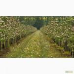 Продаємо свіже яблуко з власного саду, Хмельницька обл
