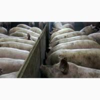 Продажа свиней мясного направления, Винницкая