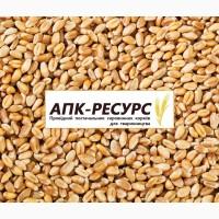 Продаем Пшеницу фураж