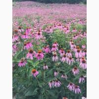 Эхинацея цветок пурпурная