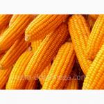 Продам гібрид кукурузи ЛЮБАВА 279 МВ