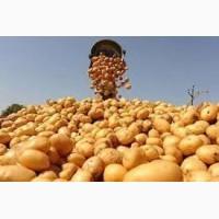 Продам насіннєву картоплю Рів#039;єра, Тірас та ін