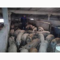 Продам свиней живым весом оптом