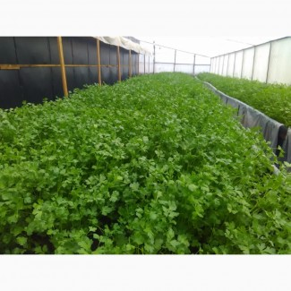 Продам свежую, ароматную зелень - петрушку, зеленый лук-перо до 45 см