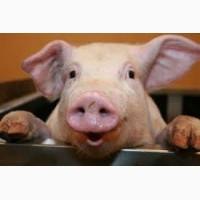 Продам домашнюю свинью живым весом