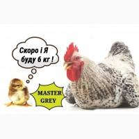 Продаємо курчата Мастер Грей Львів