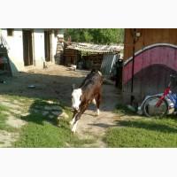 Теличка на корову (молочна порода, корова) Львівська область