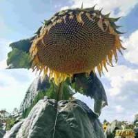 Соняшник. Закупівля. Вся Україна