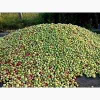 Куплю яблока на переработку оптом