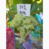 Виноград саженец кишмиш 342