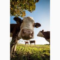 Закупка коров, Быков, молодняк по выгодным ценам