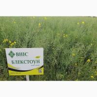Семена озимого рапса Блекстоун (Семена озимого рапса под Евролайтинг )