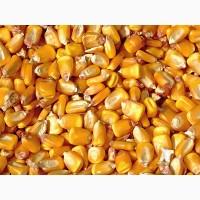 Куплю кукурузу фураж