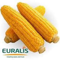 Семена кукурузы Лаймс ФАО 210 - повышенная хладостойкость