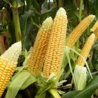 Продам зерно кукурудзи