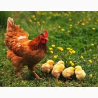 Приобрести яйца для инкубации кур породы Ломан