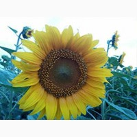 Семена подсолнечника гибрид NS SUMO 556