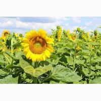 Посівний матеріал соняшнику гібридів стійких до гранстару, євро-лайтнінгу та досходові