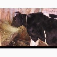 Продам гарну корову первачку