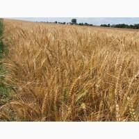 Купуємо пшеницю та ячмінь по Львівській області