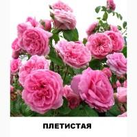 Продам саженцы роз чайно-гибридных и плетистых