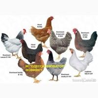 Доминант Суссекс D104. Цыплята Бройлера, Мулард, Индюшата, Гуси, Утки