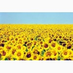 Семена подсолнечника Заграва стандарт (ВНИС)