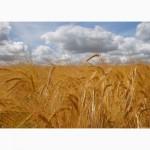 ЗАКУПАЕМ зерновые культуры по всей территории Украины