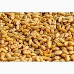 Семена озимой пшеницы-урожайность 75-90 ц/га