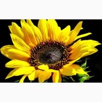 Продаємо якісне насіння соняшнику