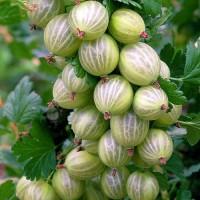 Продам саженцы Крыжовника Питомник выращивает плодово-ягодные кустарники есть опт