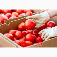 Продажа розовых томатов оптом