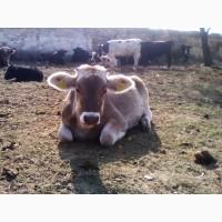 Продам чистокровных телок Лебединской породы