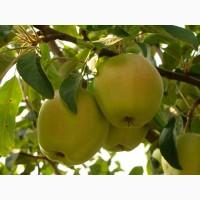 Продам яблоки с собственного сада Снежный Кальвин
