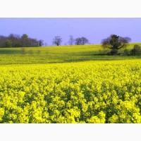 РАУДІС РС насіння ярого ріпаку (олійний)