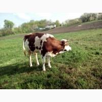 Продаю корову 19 000 грн