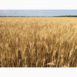 Озима пшениця Златоглава