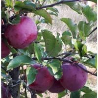 Продам яблука високої якості