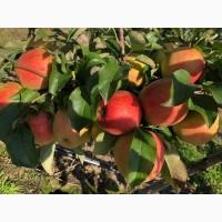 Продам яблука з власного саду, Львівська область (Миколаївський р-н)