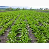 Продам семена одуванчика (Taraxacum officinale)