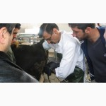 BC5200V Портативный ветеринарный УЗИ сканер для коров