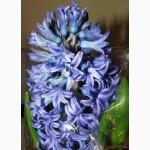 Гиацинт, крокус, тюльпан многоцветковый, срез, в вазоне