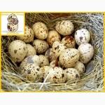 Яйца перепела инкубационное Техасец - супер бройлер и молодняк