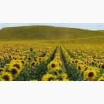 Продам семена подсолнечника код гранстар Рекольд 900 грн. за п.о