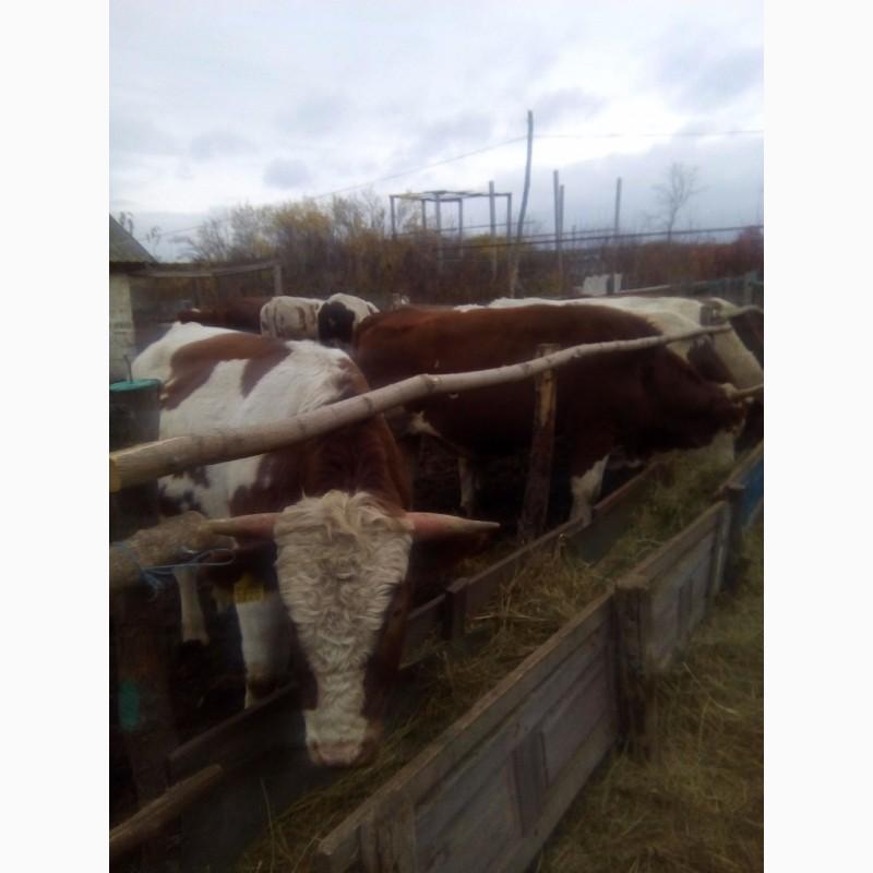 Выращивание быков производителей 53