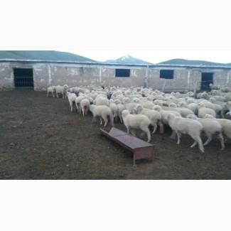 Овцы, на экспорт, Романовские, Меринос
